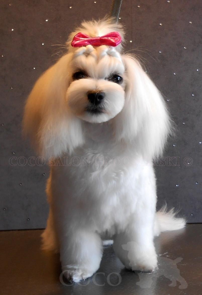 Psie Fryzury Dla Maltańczyka Coco Salon Groomerski